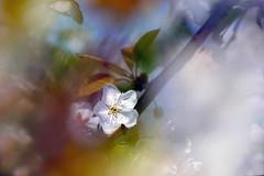 One (ej - light spectrum) Tags: cherry blossom kirschblüte spring frühling switzerland schweiz suisse svizzera 2018 april nature fujifilm xt2