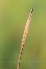 Longjawed Orbweaver (Tetragnatha sp.) (cholmesphoto) Tags: animalia animals arachnida arachnids araneae araneomorphae arthropoda arthropods chelicerata chelicerates entelegynes longjawedorbspiders longjawedorbweavers spiders tetragnatha tetragnathidae truespiders animal camouflage nature spider wildlife