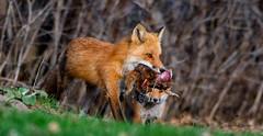 Renard roux - Red fox - Ruber vulpes (MichelGuérin) Tags: 2019 afsnikkor200500mmf56eedvr animal canada lightroomcc mai michelguerin michelguérin nature nikcollectionpardxo nikkor200500mmf56eedvr nikon nikond500 qc québec redfox renardroux rubervulpes châteauguay