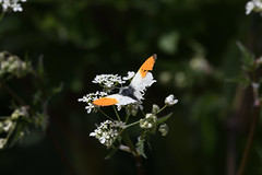 Orange tip DSC_4602 (sja88) Tags: attenboroughnaturereserve orangetip butterfly