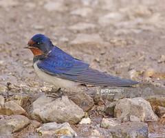 Swallow (Gary Chalker, Thanks for over 4,000,000. views) Tags: hirundine swallow bird pentax pentaxk3ii k3ii pentaxfa600mmf4edif fa600mmf4edif fa600mm 600mm