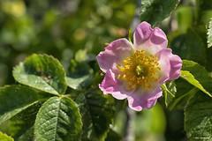 Plant (akatsoulis) Tags: bokeh dxformat apsc nikoneurope nikonuk nature closeup nikkor50mm14g d5300 nikon garden flowers spring macedonia greece thrace xanthi