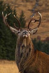 Monarch (waynehavenhand1) Tags: antlers highlands scotland wild wildlife nature animal cervus cervuselaphus deer reddeer stag