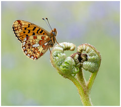 Pearl Bordered Fritillary (nigel kiteley2011) Tags: pearlborderedfritillary butterfly butterflies lepidoptera nature macro insects canon 5dmk3