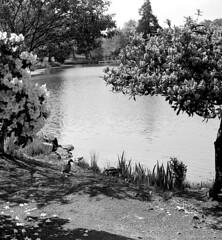 Lake Ducks (cleershaddo) Tags: blackandwhite mediumformat 120 1943agfab2speedex folder longviewwashington longview ducks lakesacajawea drake hen duckcouple