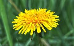Dandelion (Steve InMichigan) Tags: dandelion plants wildflowers vivitarautowideangle28mmf28txtokinalens fotasyfdfleosmlensadapter