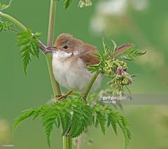 Whitethroat (Gary Chalker, Thanks for over 4,000,000. views) Tags: whitethroat warbler bird pentax pentaxk3ii k3ii pentaxfa600mmf4edif fa600mmf4edif fa600mm 600mm