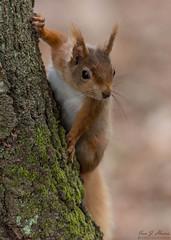 Red squirrel ( Explored ) (ian._harris) Tags: nikon d750 tamron g2 150600 nature wildlife animals naturephotography natur life flickr outside naturaleza redsquirrel wild explore