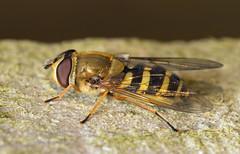 Hoverfly (Dibbly Dobbler) Tags: sonya7rii 90mm raynox macro hoverfly
