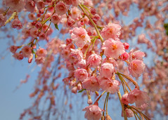 Weeping Cherry Blossoms (lablue100) Tags: plants plant flowers weeping cherry wheepingcherry tree pink spring blooming blossoms sky colors beauty soft