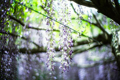 Drapes of Wisteria (moaan) Tags: tamba hyogo japan flower flowering flora floweringplant wisteria wisteriaflowers above fromabove light sunlight pouringsunlight richlycolored purple green colors focusonforeground selectivefocus lowangleview dof leica leicamp type240 noctilux 50mm f10 noctilux50mmf10 leicanoctilux50mmf10 utata 2019 bokeh bokehphotography