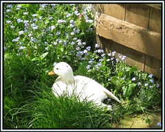 Little Ducky (M E For Bees (Was Margaret Edge The Bee Girl)) Tags: duck white bird garden canon countyside sun spring mysotis forgetmenots flowers green grass sitting outdoors americancall blue