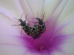 acordando (abelhário) Tags: tor beetle besouro käfer kever corriola ipomoeiasp ipoméia inseto insekt insecto insect brazil brasil brasilien brazilië cordadeviola wakingup wakkerworden aufwachen campainha