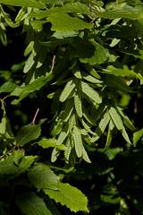 Carpinus betulus (Hornbeam) (Hugh Knott) Tags: carpinusbetulus hornbeam flora anglesey tree wales uk betulaceae macro