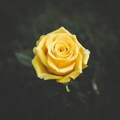 136/365 - Yellow Rose