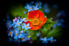 I am Geum .... forget-me-not! (Missy Jussy) Tags: geum forgetmenot flowers leaves springtime springflowers garden gardenflowers mygarden outdoor outside macro ef100mmf28macrousm sunlight orange blue northwest england