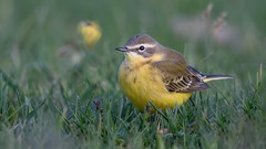 Yellow wagtail (JS_71) Tags: nature wildlife nikon photography outdoor bird new spring see natur pose moment outside animal flickr colour poland sunshine beak feather nikkor d500 wildbirds planet global national wing eye watcher