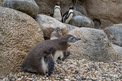 San Diego Zoo African Penguin Colony Produces Its First Chicks (San Diego Zoo Global) Tags: sandiegozooglobal©2016 birds bird chick chicks penguin penguins babyanimals cute baby endangered endangeredspecies conradprebysafricarocks africanpenguin