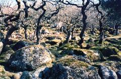 Blackator Copse Dartmoor Devon (clivepsmithmarch1960) Tags: blackatorcopse ancientwoodland dartmoor westokement