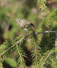 Ruby-crowned Kinglet (Bagman 333) Tags: birds warblers
