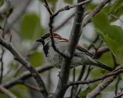 Boreal Chickadee (Kitoon) Tags: bird borealchickadee chickadee