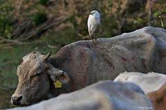 1.02105 Me and my cow (Laval Roy off until 07/08/2019) Tags: ardéidés jalisco mexico mexique cattleegret hérongardeboeuf pélicaniformes oiseaux birds aves lavalroy bubulcusibisibis comportement