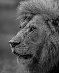 (rodrigoazeidan) Tags: bigcat lion king nature wildlife animal animals africa