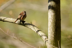 Getting Some Sun (Eric Tischler) Tags: sparrow small bird branch spring ohio sunny tree