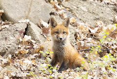 Fox kit playing in the leaves (Jim Cumming) Tags: redfox fox nature wildlife spring forest canada foxkit kit