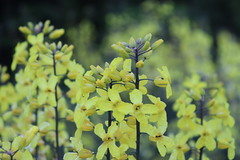IMG_1707 (CSFS at UBC Farm) Tags: flowers brassicas