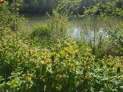 """Frühling am Fluss Iller in Süddeutschland - spring on the river Iller in southern Germany - la rivière Iller dans le sud de l'Allemagne (warata) Tags: 2019 deutschland germany süddeutschland southerngermany schwaben swabia oberschwaben """"upper swabia"""" """"schwäbisches oberland"""" """"badenwürttemberg"""" badenwürttemberg iller """"iller der fluss"""" pflanzen wildpflanzen wildblumen blüte flower """"samsung galaxy note 8"""" nature outside landscape garden frühling spring"""