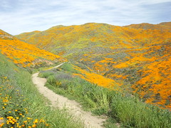walker canyon trail (h willome) Tags: 2019 california lakeelsinore walkercanyon wildflowers superbloom