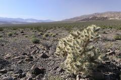 Teddybear Cholla (fksr) Tags: teddybearcholla cylindropuntiabigelovii spines spiky plant desert deathvalleynationalpark california