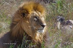 IMGP2132-2 (b kwankin) Tags: africa lion serengeti tanzania