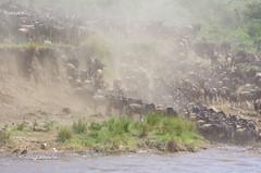 IMGP1606-2 (b kwankin) Tags: africa maramto serengeti tanzania wildebeestwesternwhitebearded