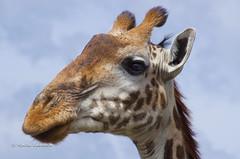 IMGP1451-2 (b kwankin) Tags: africa giraffemasai serengeti tanzania