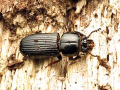 Giant Bess Beetle (treegrow) Tags: rockcreekpark washingtondc nature lifeonearth raynoxdcr250 arthropoda insect beetle coleoptera odontotaeniusdisjunctus passalidae