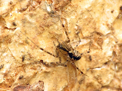 Hammock Spider (treegrow) Tags: rockcreekpark washingtondc nature lifeonearth raynoxdcr250 arthropoda arachnida araneae spider pityohyphantescostatus linyphiidae