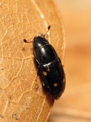 Nitidulid Beetle (treegrow) Tags: rockcreekpark washingtondc nature lifeonearth raynoxdcr250 arthropoda insect beetle coleoptera glischrochilus nitidulidae