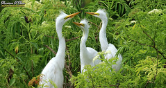 Three's a crowd (Shannon Rose O'Shea) Tags: shannonroseoshea shannonosheawildlifephotography shannonoshea shannon greategret egret bird birds three juvenile babyhair white feathers beak yelloweye leaves green flowers nature wildlife waterfowl ardeaalba branches alligatorbreedingmarshandwadingbirdrookery gatorland orlando florida gatorlandbirdrookery rookery outdoors outdoor outside colorful colourful flickr wwwflickrcomphotosshannonroseoshea smugmug art photo photography photograph wild wildlifephotography wildlifephotographer wildlifephotograph camera closeup close canon canoneos80d canon80d canon100400mm14556lisiiusm eos80d eos 80d 80dbird canon80d100400mmusmii 2019 femalephotographer girlphotographer womanphotographer shootlikeagirl shootwithacamera throughherlens