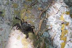 Tree Crab_004 (vmi63) Tags: florida sanibelisland nationalwildlifereserve