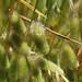 Lagurus ovatus  ウサギノオ