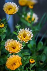Fleurs de printemps (vostok 91) Tags: vostok91 canon eos40d canonef70300mmf456isusm fleur flower vert orange jaune