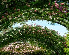 2019 Spring roses (shinichiro*) Tags: 横浜市 神奈川県 日本 20190515dsc6187 2019 crazyshin nikonz6 sigma1770mmf284dcmacrohsm ftz may spring flower yeg 横浜イングリッシュガーデン パーゴラ バラ 47815345592