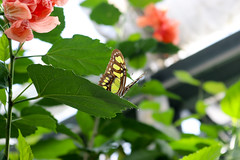 Vacances_0902 (Joanbrebo) Tags: mainau konstanz badenwürttemberg de deutschland canoneos80d eosd autofocus farfalle mariposa papallona papillon butterfly
