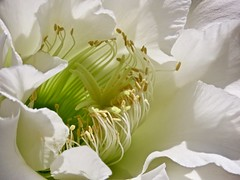 Details Inside (Chic Bee) Tags: tucson arizona flower anatomy reproduction botany cactus nightbloomingcereus alhambra garden white trumpetshaped petals sonorandesertgarden southwesternusa americansouthwest