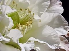 First Night Blooming Cereus of 2019 (Chic Bee) Tags: tucson arizona macro canonpowershotsx70hs trellis flower anatomy dof contrast lightandshadows morningsunshine reproduction botany cactus nightbloomingcereus alhambra garden white trumpetshaped petals sonorandesertgarden southwesternusa americansouthwest