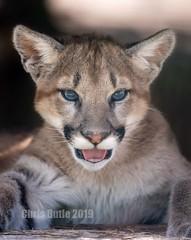 AAA01052 (montusurf) Tags: mountain lion puma cougar cub baby oklahoma city zoo feline predator portrait face