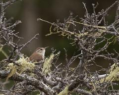 Bewick's Wren (Tom Clifton) Tags: pointlobos birding cypressgrove wren bewr