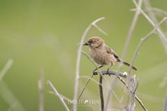 Bushtit (Psaltriparus minimus) (emiliechenphotography) Tags: bird spring 2019 bushtit psaltriparusminimus bolsachicaecologicalreserve